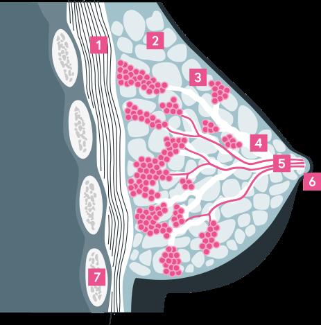 Sezione trasversale grafica del seno femminile